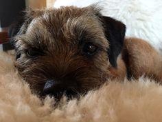 Adorable Border Terrier Dog Resting