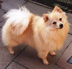 german spitz | Training Your German Spitz to Listen to You