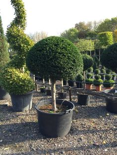 Standards brighten up any front door and are useful if you want to divide areas in your garden. Buxus Sempervirens, Taxus Baccata, Front House Landscaping, Backyard Landscaping, Lollipop Tree, Pyrus, Topiary Trees, Modern Backyard, Small Leaf