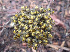 http://faaxaal.forumactif.com/t3729p10-global-photos-d-araignees-du-quebec-arachnides-quebecois-araignee-arachnide-photos-of-spiders-of-canada-quebec-arachnids#10648