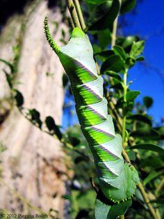 ˚Beautiful Caterpillar - Rustic Sphinx, Manduca rustica