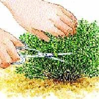 La récolte et la conservation du thym - Horticulture, Permaculture, Garden Online, Garden, Green Garden, Garden Terrarium, Herb Garden, Vegetable Garden, Gardening Tips
