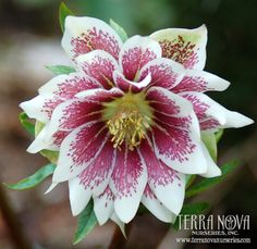 Helleborus Winter Jewels™ 'Painted Doubles' - Like an artistic painted masterpiece, this white double is adorned with red brush marks. One of the world's top hybridizers, Marietta O'Byrne has created this wonderful Winter Jewels™ Strain. A delight in the winter garden. Deer resistant!