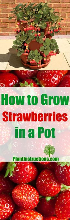 Easy, step-by-step instructions to grow the tastiest, most abundant strawberries ever!!!