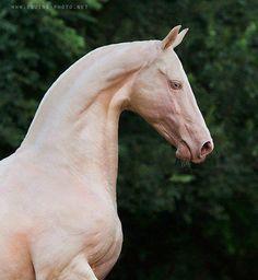 The rare and beautiful Akhal-Teke horse.