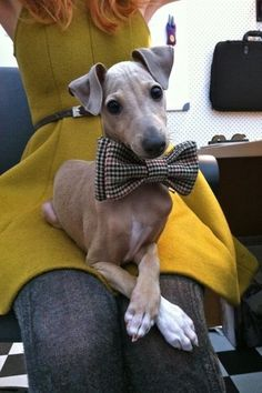 Either an italian greyhound or a whippet....sweet!