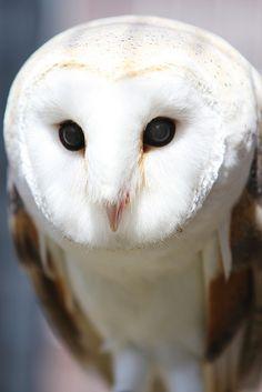 Rescued Barn Owl by Mark Philpott, via Flickr Owl Bird, Love Birds, Pretty Birds, Bird Feathers, Beautiful Owl, Animals Beautiful, Raptors, Barn Owls, Pics Of Owls