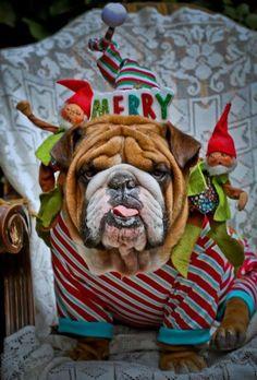 Bulldog #Christmas #englishbulldog #english #bulldog #breed #bulldogs #best #dogs #pets #animals #canine #pooch #puppy #bully