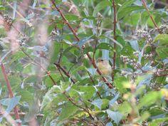 ウグイス. Japanese bush warbler. 10 October 2016.
