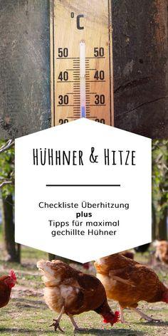 Muß ich meine Hühner vor Hitze schützen? Können Hühner schwitzen? 6 Merkmale die Dir zeigen dass Deine Hühner überhitzt sind und was Du tun kannst um vorzubeugen.