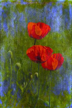 Poppies Photograph by Veikko Suikkanen - Poppies Fine Art Prints and Posters for Sale