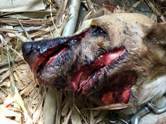 An adopted dog was badly abused and badly slashed with a large bladed object…