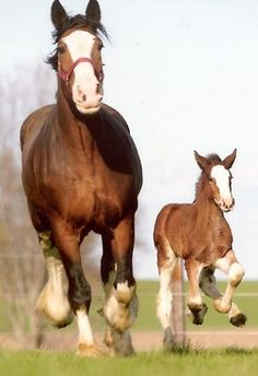 The run home!  - Clydesdale mare with colt. - from Free on a Horse
