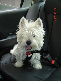Aibo - A ride to the park. westie
