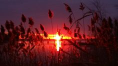Sunset through the reeds :)