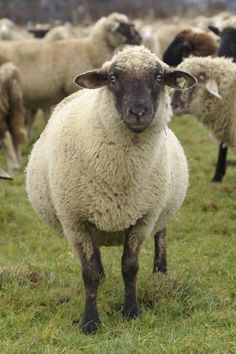Raising Sheep For Profit - Tips on Housing, Feeding, and Handling