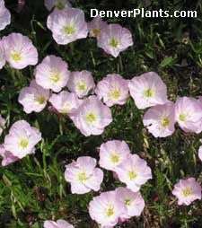"""Oenothera caespitosa /Mexican Evening Primrose tolerates poor soils & drought; abundant supply of 2"""" pink flowers have a sweet fragrance. Great choice for planting on open, dry slopes or in inferno strips. Look for : Oenothera berlandieri 'Siskiyou'."""