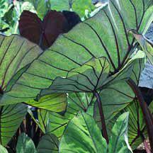 Blue Hawaii Colocasia | Tropical Plant Sale | Web Specials | McClure & Zimmerman