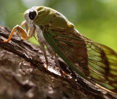 cicada unit study
