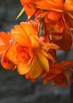 Begonias - Love Love the Orange colour. What a bright bloom to greet you in the morning or the afternoon for that matter. LM