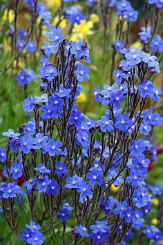 Anchusa azurea (Italian Bugloss, Italian Alkanet, Summer Forget-Me-Not)  reportedly likes alkaline, but not wet.