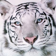 White Tigers...Im fascinated by their color, strength, will to live, power and execution!!