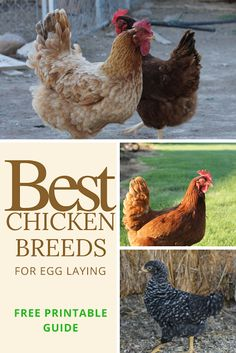 Great list of the best chicken breeds for egg laying along with a printable guide sheet #homesteading #chickens
