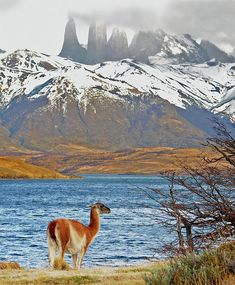 Guanaco in Torres del Paine National Park - Patagonia, Chile Beautiful World, Beautiful Places, Parque Natural, Torres Del Paine National Park, Wonders Of The World, South America, State Parks, Places To See, Travel Inspiration