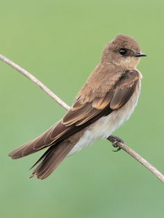 Northern Rough-winged Swallow, Stelgidopteryx serripennis: breeds- SE-AK/ S-Can/ thru-out USA // www.tringa.org