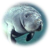 Adopt-A-Manatee® for $25 and Get:  An adoption certificate, full-color photo, and biography of a real endangered Florida manatee.      A membership handbook.      The Manatee Zone, our official Club newsletter. featuring updates on the adopted manatees.      Paddle Tales, our e-newsletter (when an email address is provided).      FREE SHIPPING for U.S. adoption orders.