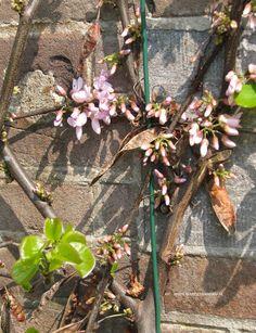 Cercis siliquastrum = judasboom, in Fort Hoofddijk is deze als lei'boom' tegen het fort geplaatst, bloeit april - mei voor de bladontwikkeling, voorjaarsbloeier. Houd van warmte en zon.