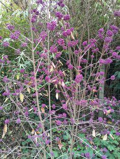 Callicarpa, le violet lui va si bien ! http://www.pariscotejardin.fr/2015/11/callicarpa-le-violet-lui-va-si-bien/