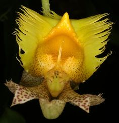 """#Orchid - CARITA FELIZ    http://dennisharper.lnf.com/.""      (Pinned also to Nature - P&F-Flowers-*Heart-shaped Centers & Odd Flowers....)"
