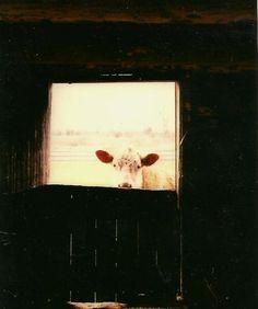 Farm Animal Photography Brown Cow at Barn Door by TheOldBarnDoor, $4.00