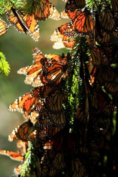 MONARCH BUTTERFLY (by Mario Vazquez) This is so beautiful There's a place in NorCal where each year thousands of Monarchs appear for just a few days. I have yet to see it, but imagine it might look something like this. Butterfly Migration, Flying Flowers, Butterfly Kisses, Butterfly Quotes, Butterfly Pictures, Monarch Butterfly, Butterfly Design, Beautiful Butterflies, Beautiful Bugs