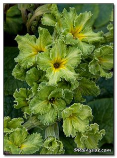 Primula x polyanthus 'Green Lace'--quietly flowers in my garden for months!