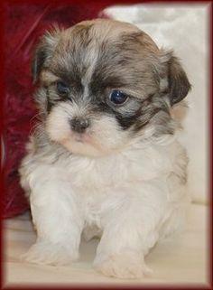6 week old Mal-Shi (Maltese / Shih-Tzu mix) puppies