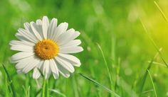 The Healing And Medicinal Properties Of Chamomile - Steve Beats Cancer
