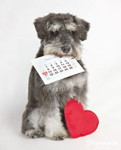 Stanley  (Mini Schnauzer) - I love you every day of the year. Valentine's Day Photo Session Idea. Prop Ideas. ♡