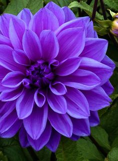 Dahlia 'Lilac Time' | Dinnerplate type, beautiful violet colored flowers and is an excellent choice to grow in your flower border. Simply stunning, growing up to 3 ft tall, with full luscious leaves, Dahlia Dinnerplate Lilac Time will reward you with flowers from June to October (or early frost). | Flower Bulbs Inc
