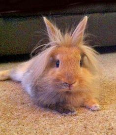 Imagenes de Conejos: Imagen conejo beige despeinado 28-03-14