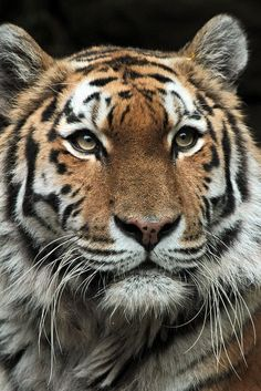 Strength. Power. Wisdom. Beauty.  Nothing beats the tiger.
