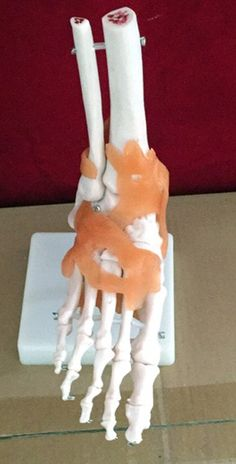 life-size foot joint Ankle joint model  Anatomical Human Foot Joint With Ligaments - Medical Educational Training Aid #Affiliate