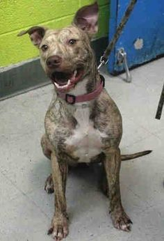 Brooklyn Center GRACIE - A1030374 FEMALE, TAN / BR BRINDLE, PIT BULL MIX, 2 yrs OWNER SUR - EVALUATE, NO HOLD Reason PERS PROB Intake condition EXAM REQ Intake Date 03/15/2015 https://www.facebook.com/Urgentdeathrowdogs/photos/pb.152876678058553.-2207520000.1426607500./977758378903708/?type=3&theater