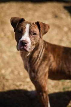04/14/15 still listed - Olivia (special needs) - Dogue de Bordeaux & Staffordshire Bull Terrier Mix • Adult • Female • Medium - Robyn's Nest Animal Rescue & Sanctuary Nashville, TN - OLIVIA: was found in a ditch when she was just 2mos old. She was emaciated & naked hardly a hair on her body because she had mange that went untreated. She has had a long road to recovery, but now look at her. She loves ALL dogs & people, LOVES KIDS too. She loves to be cradled like a baby or snuggle in the…