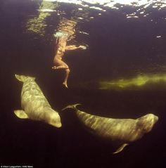 Natalia Avseenko, a scientist, strips naked and swims with beluga whales in the Arctic, preparing them for captivity.