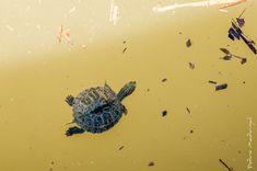Bebé tortuga [jicotea elegante, galápago de Florida, tortuga de orejas rojas, tortuga japonesa; nombre científico: «trachemys scripta elegans»]