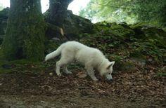 Un loup non c'est mon ti Légende