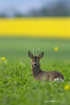Photo Roe deer by Alain Balthazard on 500px