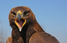 Model #10 Bald Eagle, Artsy, Bird, Model, Animals, Animales, Animaux, Birds, Animais